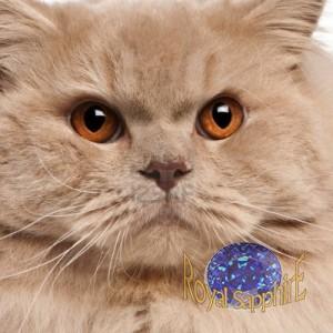 кот породы британская длинношерстная